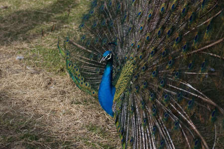 blue peafowl: A peacock with a fanned train