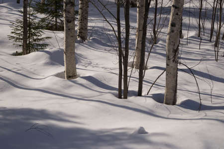 birch trees: The trunks of birch trees in the snow Stock Photo
