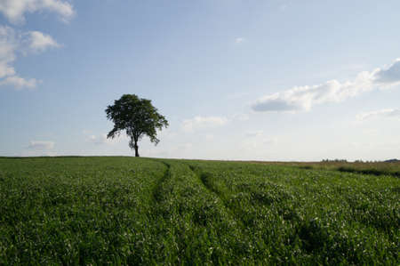 lonely tree: A lonely tree in a field