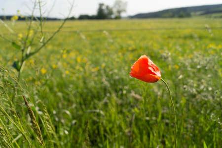 A single poppy in a field of buttercups Stock Photo