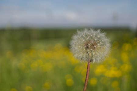 A dandelion in front of a field of buttercups