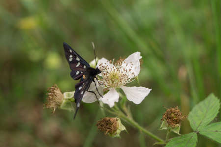 bramble: A nine-spotted moth eats from the flower of a bramble
