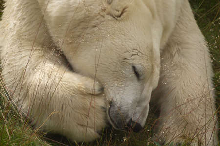 sweden resting: A polar bear is resting
