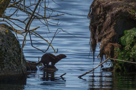 wildanimal: A European otter jumps from rock to rock in lake Vttern Stock Photo