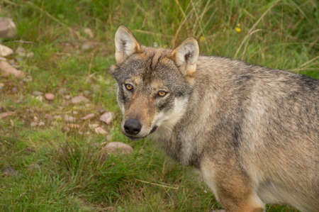 timber wolf: An wolf stands alert in a grassland