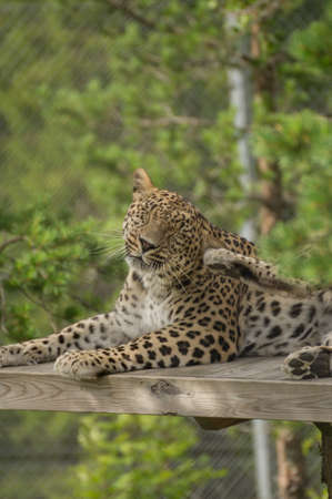 onca: A jaguar is washing himself Stock Photo