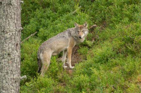 wildanimal: An wolf stands alert in a grassland