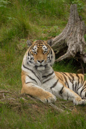 wildanimal: A tiger is laying relaxed in the grass Stock Photo