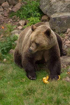 wildanimal: A brown bear is eating fruit Stock Photo