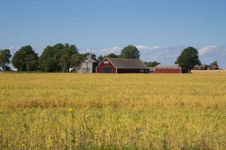 wheatfield: Falu red barns in a wheat field in Sweden