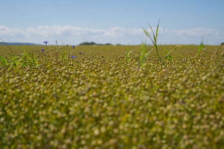 pierce: Purple flowers pierce trhough crops on a field