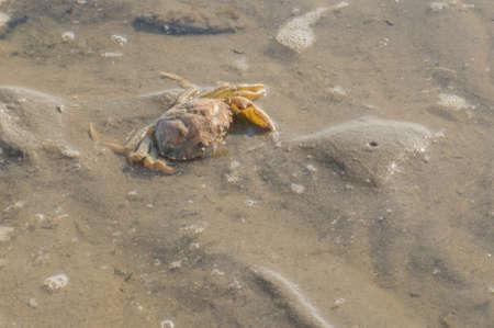 sandbank: A dead crab on a sandbank in The Netherlands Stock Photo