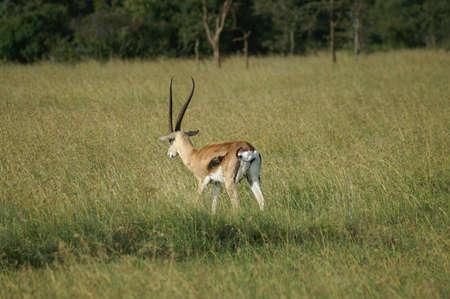 gazelle: A Thomsons gazelle standing guard in Ol Pejeta in Kenya