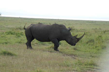 oxpecker: A large white rhino with Oxpeckers on his back in Lake Nakuru national parc in Kenya Stock Photo