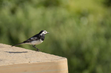 picknick: white wagtail on a picknick table in Scotland