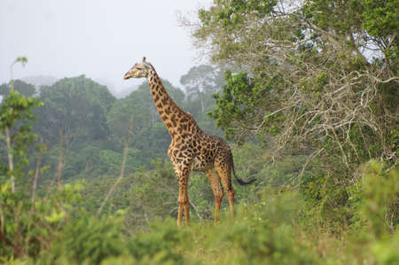 Giraffe standing between the trees in a forrested area in Kenya Stock Photo