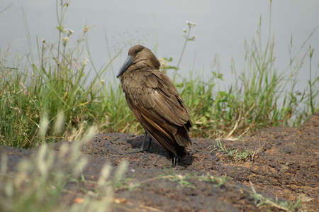 a Hamerkop bird on the edge of the water in Kenya Stock Photo
