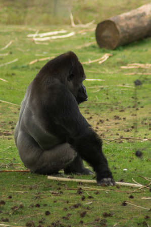 A gorilla is sitting on a lawn.