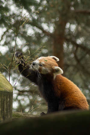 bearcat: A red panda eating bamboo on a branch