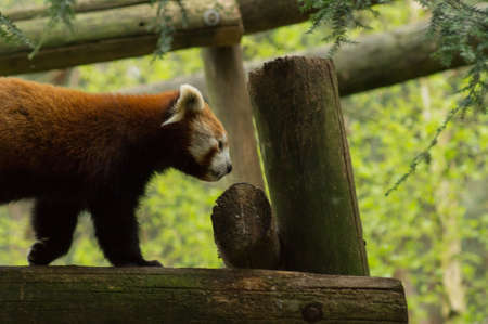 bearcat: a red panda walking on a branch