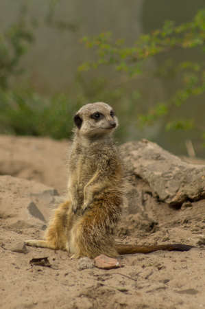 A meerkat is on the lookout in a zoo