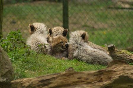 cheeta-vijfhandige welpen leggen samen