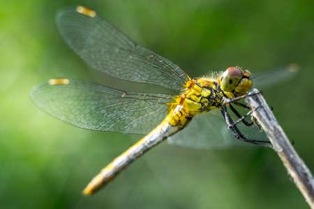 libellule sur un fond d'herbe vert fermer vers le haut de macro Banque d'images