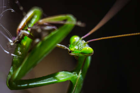 mantid: Praying mantis closeup eating its prey in the wild Stock Photo