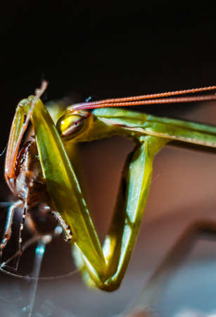 mantid: Praying Mantis close up Stock Photo