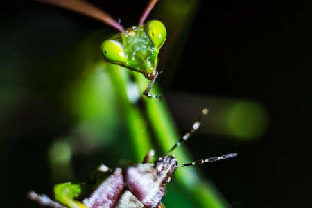 Praying mantis closeup eating its prey in the wild Stock Photo