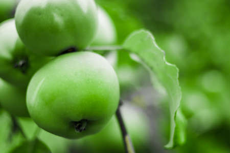 bright green apples on a branch