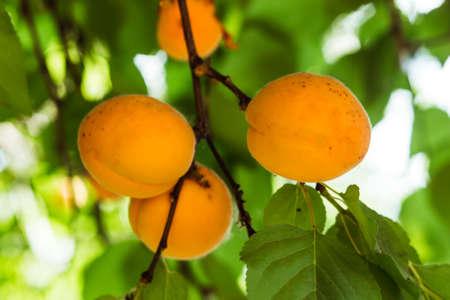 Apricot closeup on a branch Stock Photo