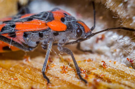 black beetle closeup on a walnut brown background