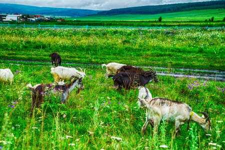 goats grazing in a field with goats in the mountains of green grass Stock Photo