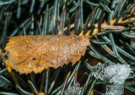 needle pine close-up winter macro photo waiting for the new year