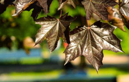 black leaves maple nature Park vacation leaf