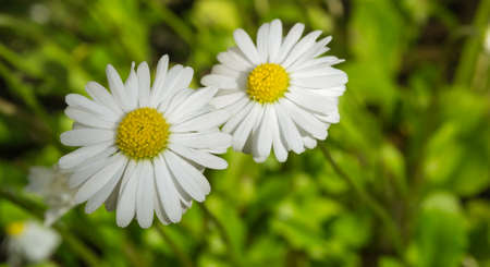 two daisies on a grass background two beautiful flower reach for the sun Stock Photo