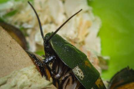 Madagascar hissing cockroaches macro photo close-up huge beetles