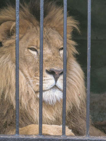 lion in a cage going to the zoo animal in captivity Reklamní fotografie - 96763484