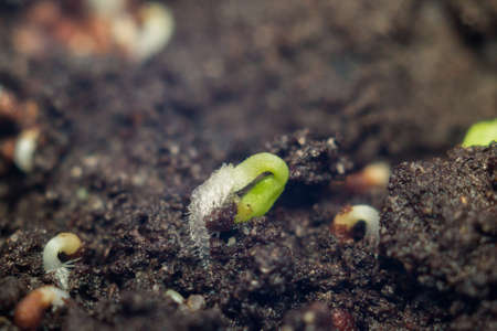 planting seeds in early spring, tobacco seeds Virginia Stock Photo
