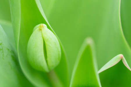 early green tulips