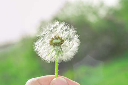 dandelion in the hand of summer, the beginning of the season