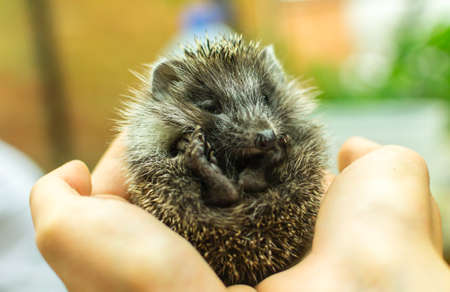 hedgehog on hand little looking at the camera cute funny