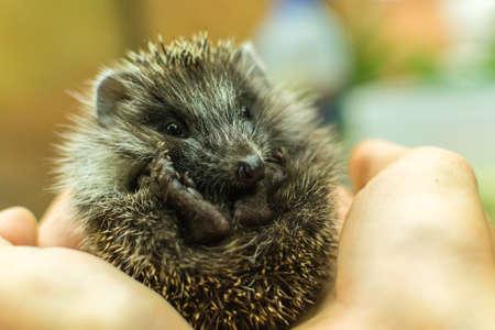 hedgehog on hand