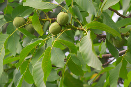 green walnuts on the tree summer time the beginning of the harvest