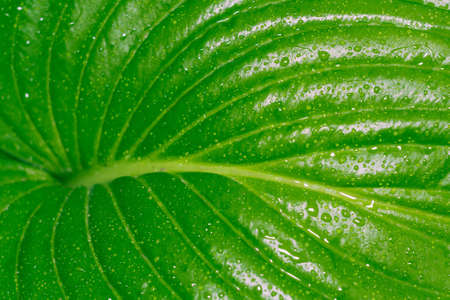 host green leaves of summer the concept of macro drops