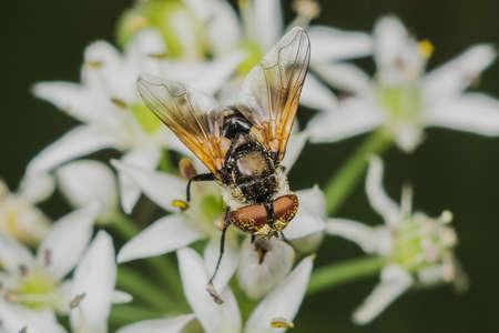 fly Diptera Syrphidae closeup macro photo garden assistant Banco de Imagens