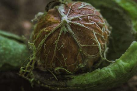 ripe walnut macro