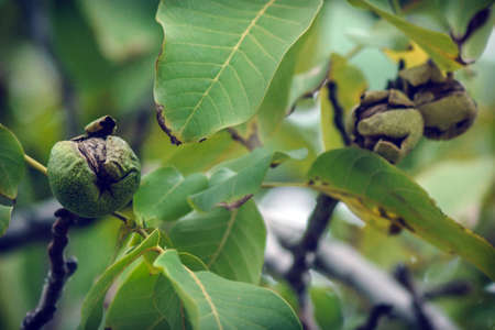 ripe walnuts on a tree harvesting in the garden autumn time Stock Photo