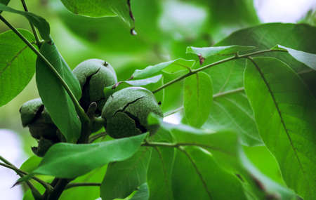 ripe walnuts on a tree harvesting in the garden autumn time 写真素材